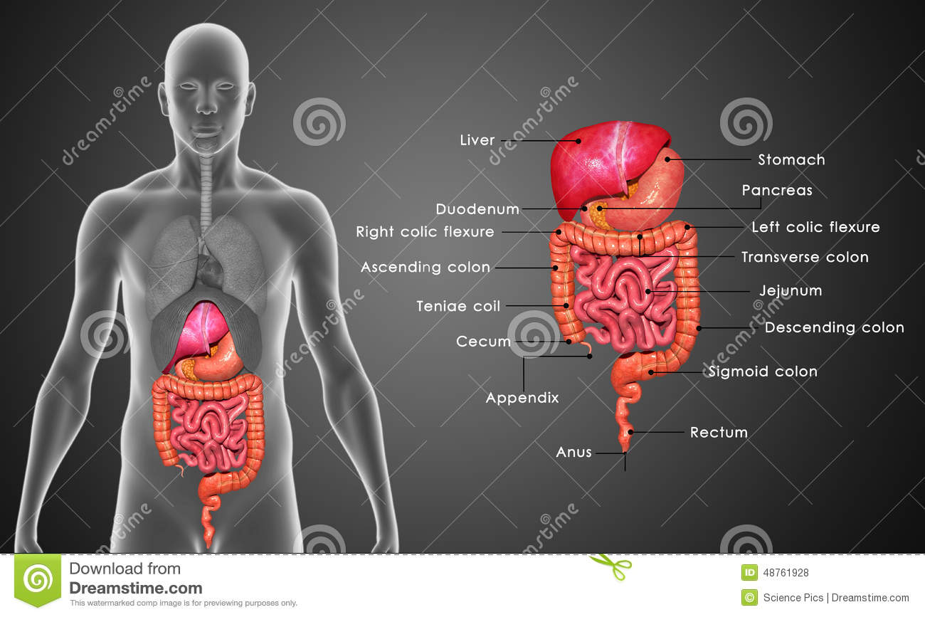 Digestive System Stock Illustration  Illustration Of