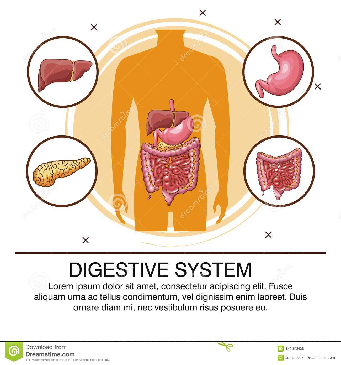 Digestive System Poster Stock Vector Illustration Of Lactobacillus