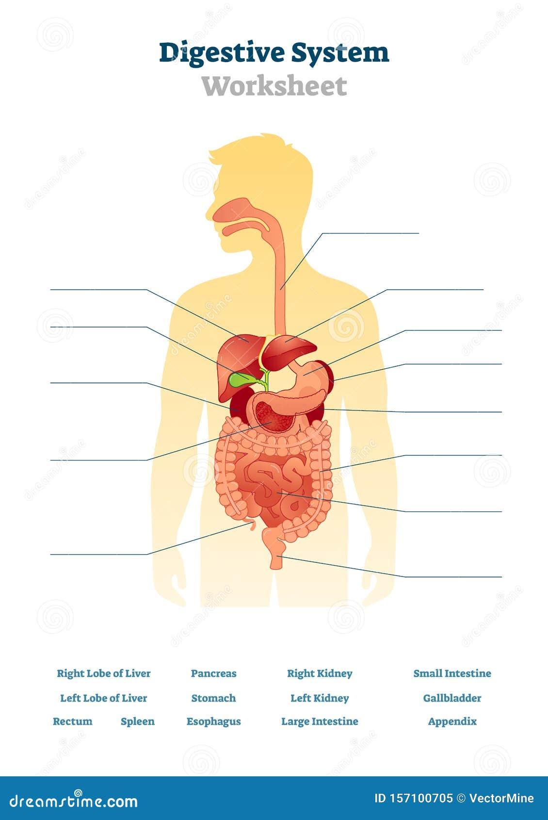 Digestive System Worksheet Vector Illustration Blank Inner