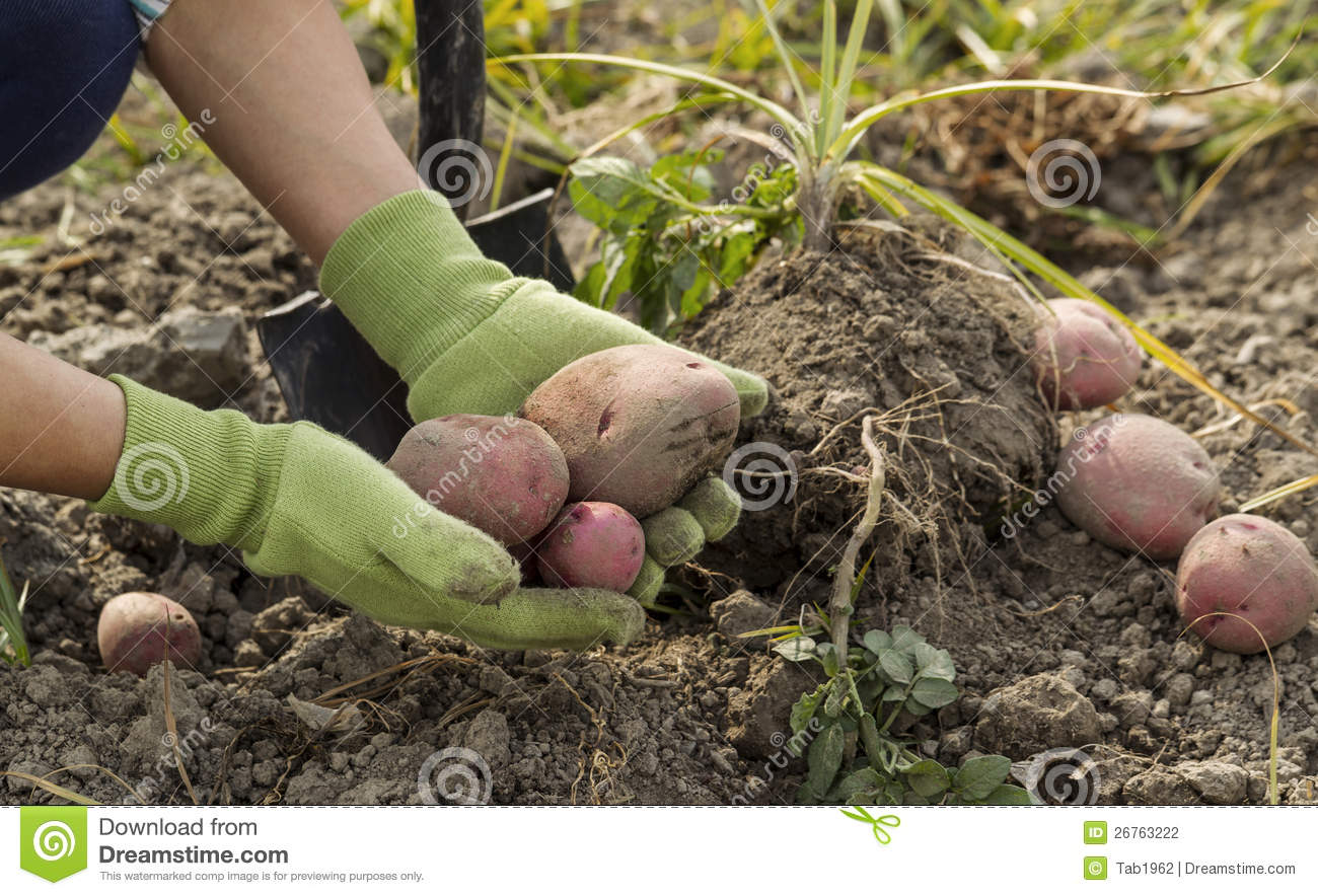 Digging fresh red potatoes from ground stock photo image for Digging ground dream meaning