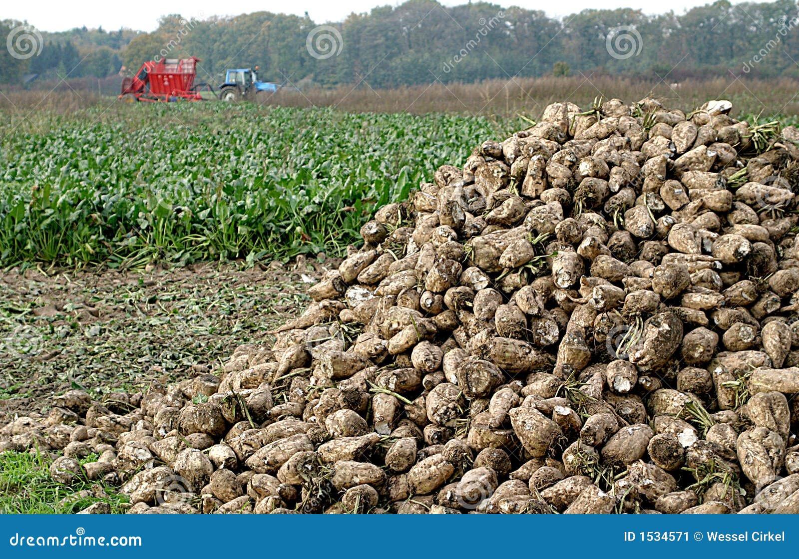 Digging of sugar-beets