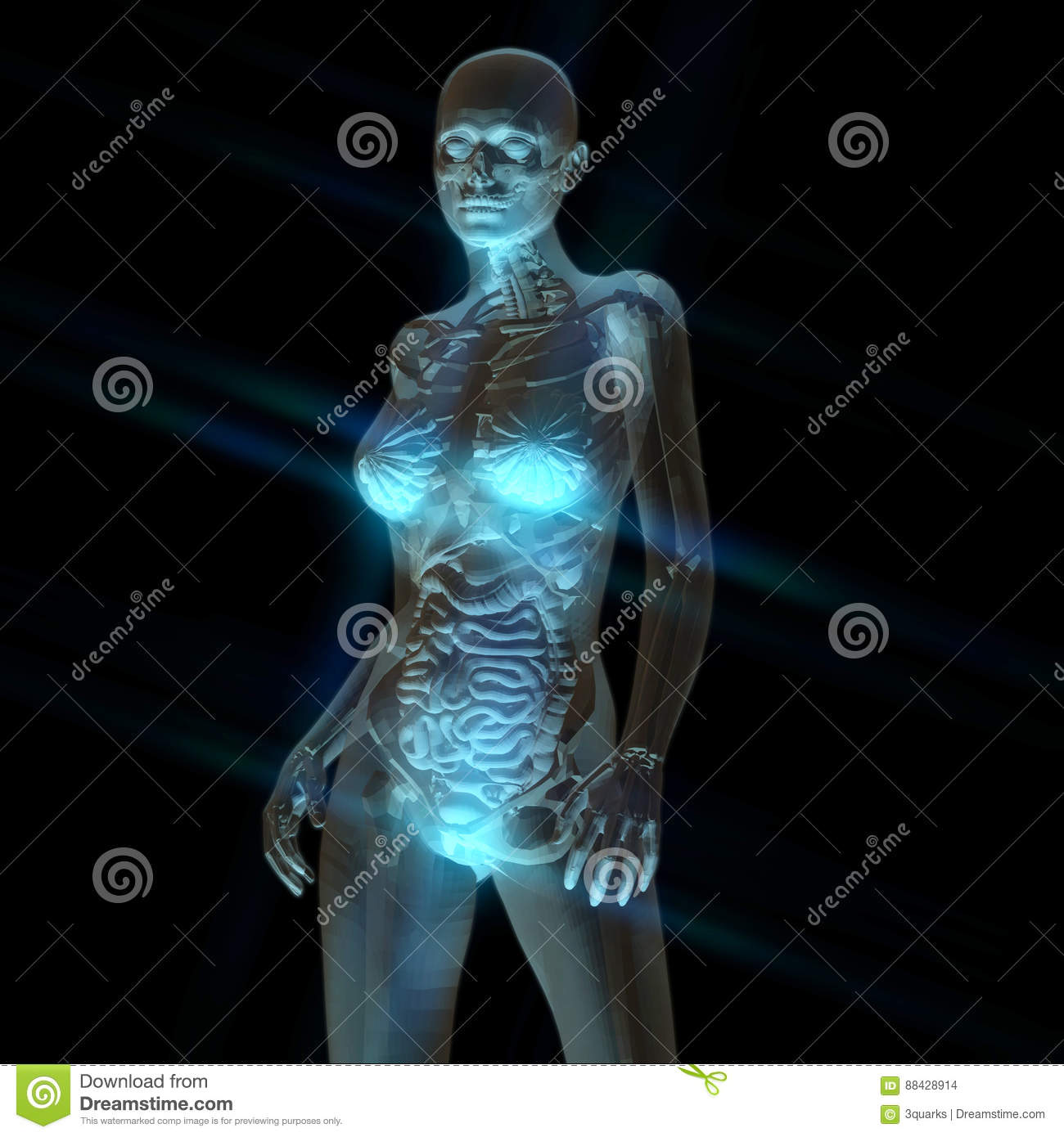 Digital Rendering of the female human Anatomy