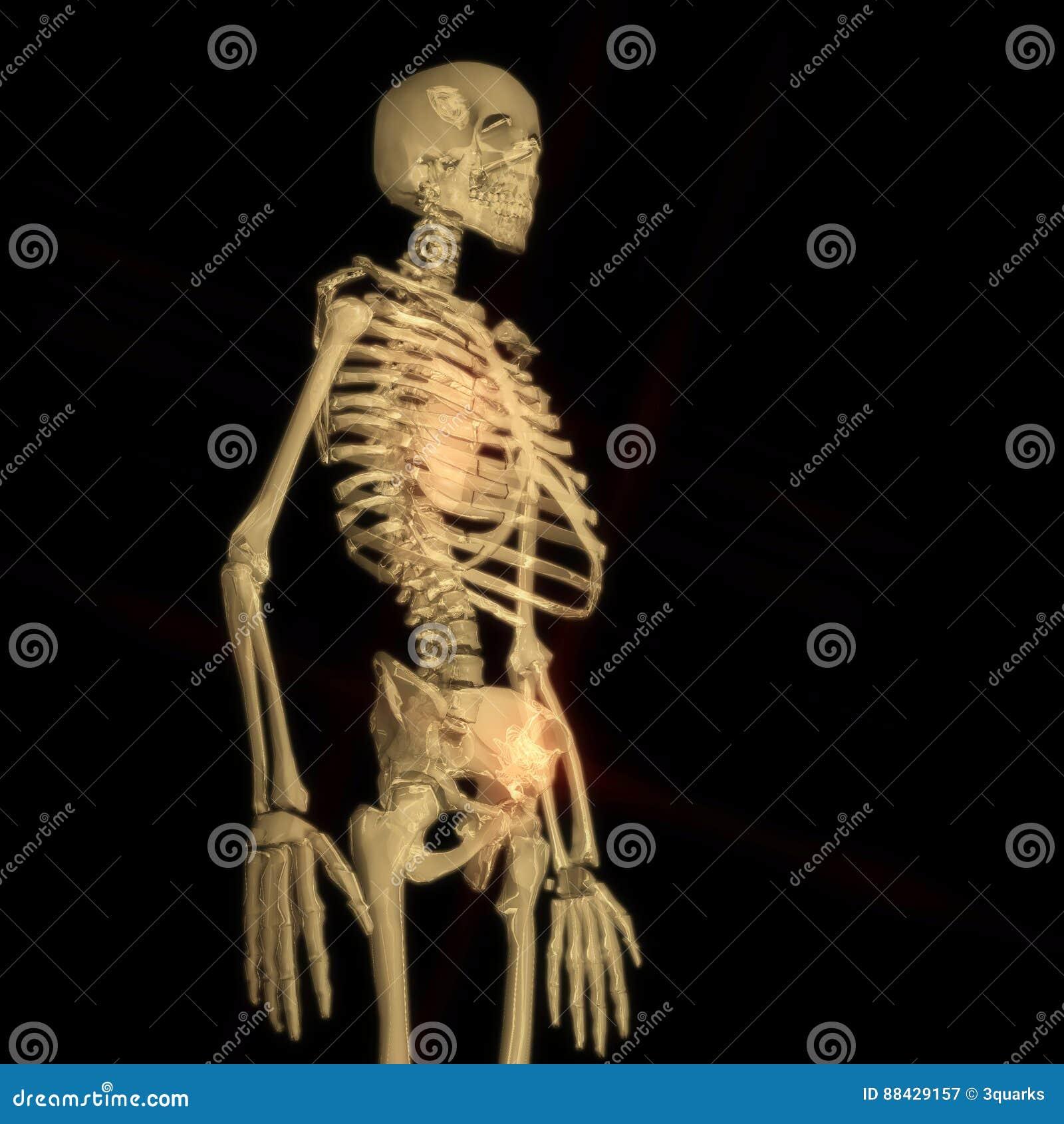 Digital Rendering of a human Skeleton