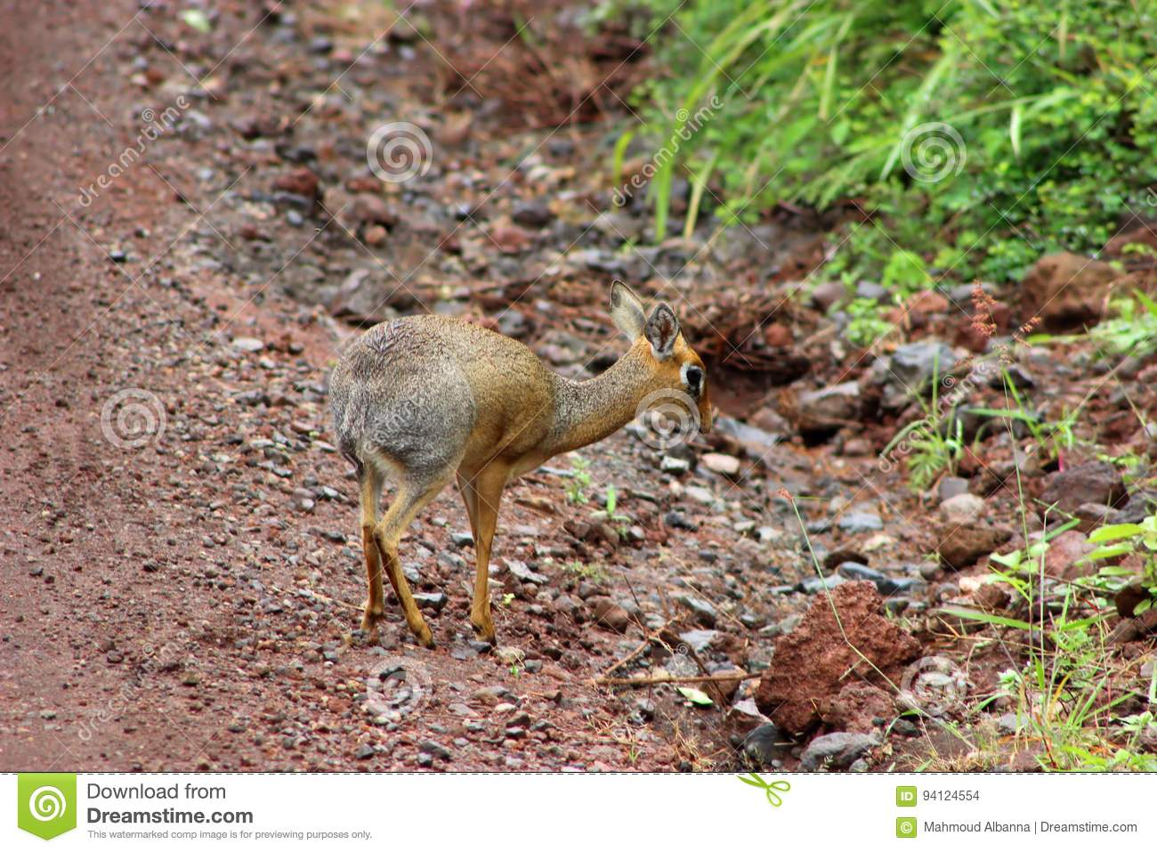 58f568c30 Though they look like miniature deer, dik-diks are small antelopes that  never get bigger than 30 to 40 cm. When sensing danger, the female warns  other game ...