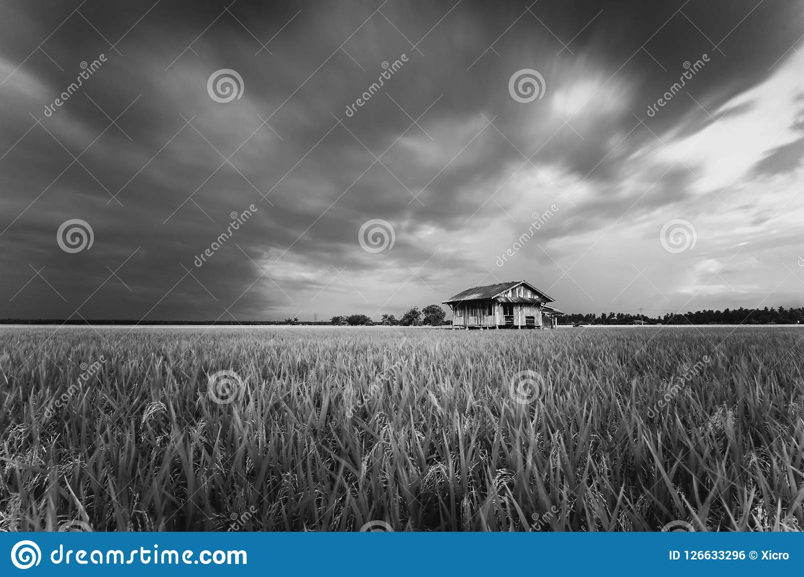 Dilapidated abandon wooden house surrounding paddy field