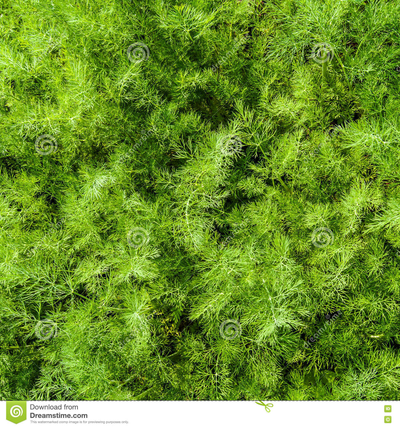 Dill In The Herb Garden Stock Photo Image 79376275