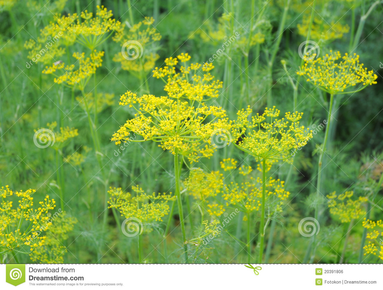 Dill Plant Anethum Graveolens Stock Photo Image 20391806