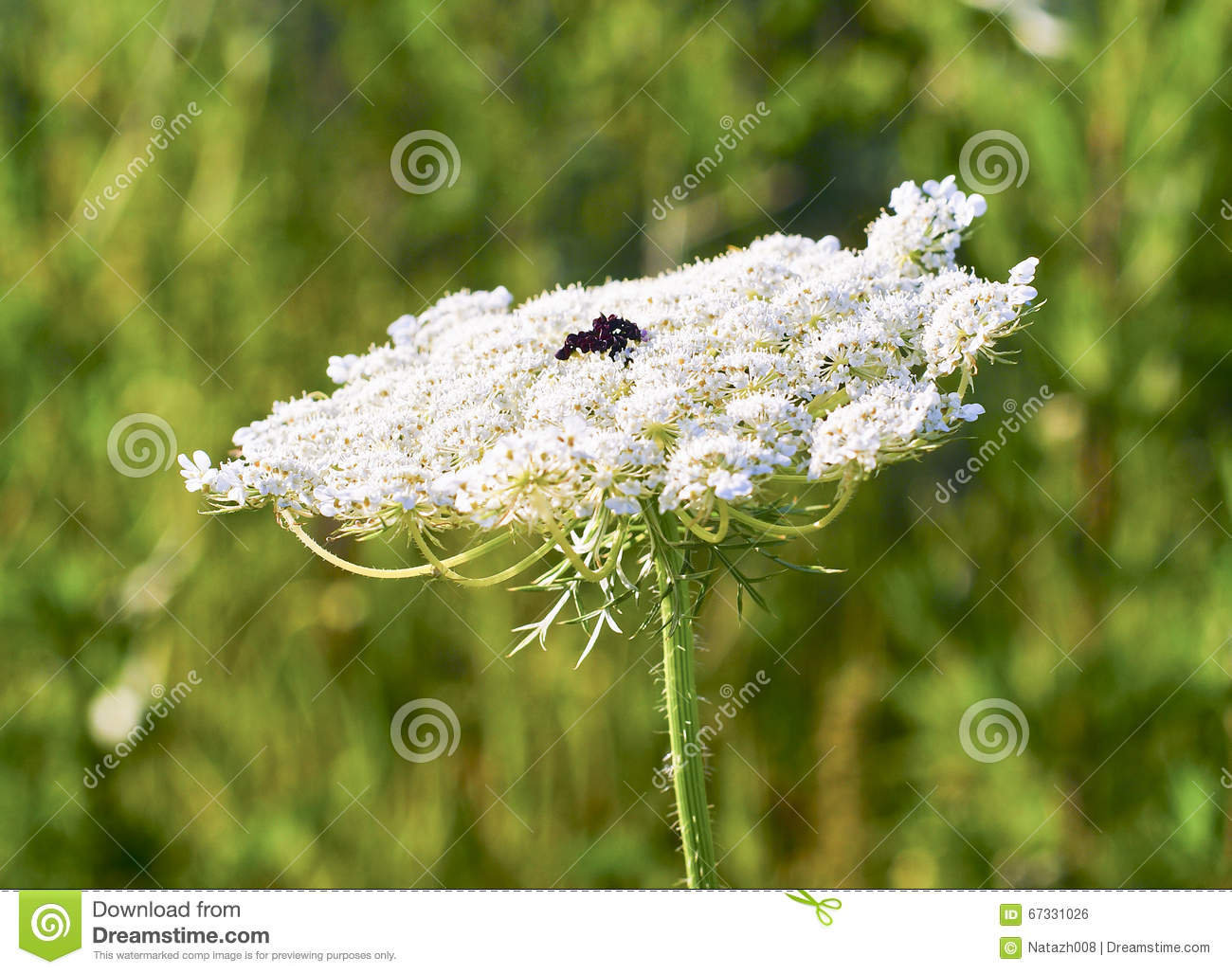 Dill Plant With White Tip And Black Dot In The Middle Stock Photo