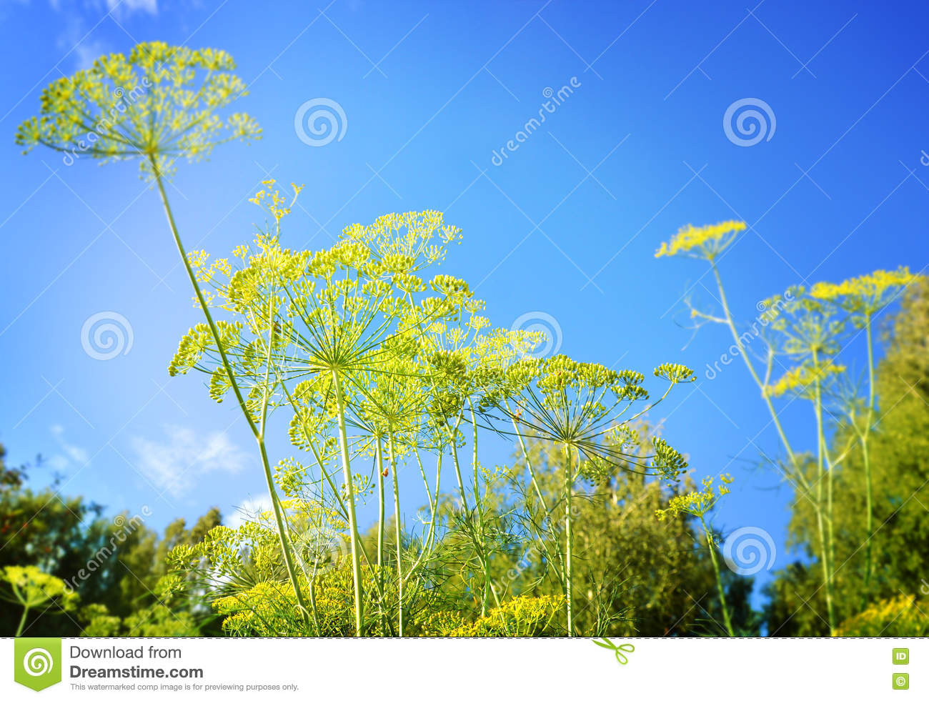 Dill Weed Flowers Set Against A Blue Sky With Puffy White Clouds