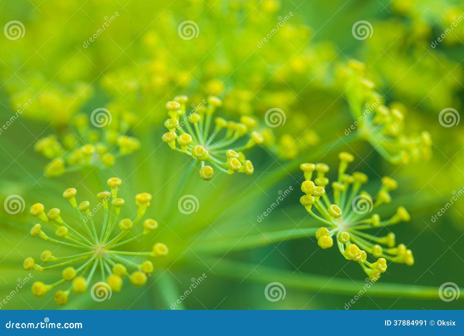 Dillebloemen