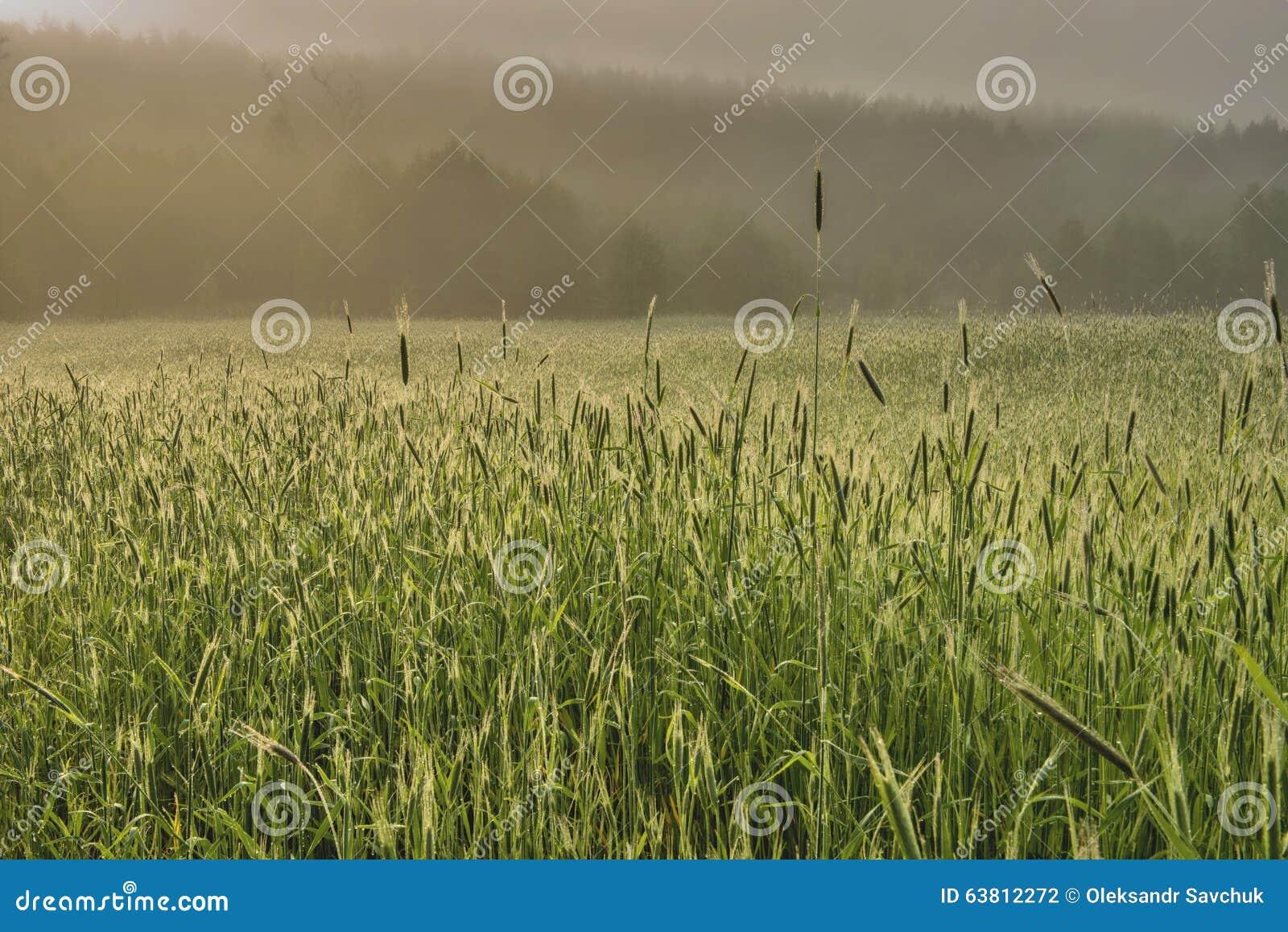 Dimmig morgon i ett vetefält