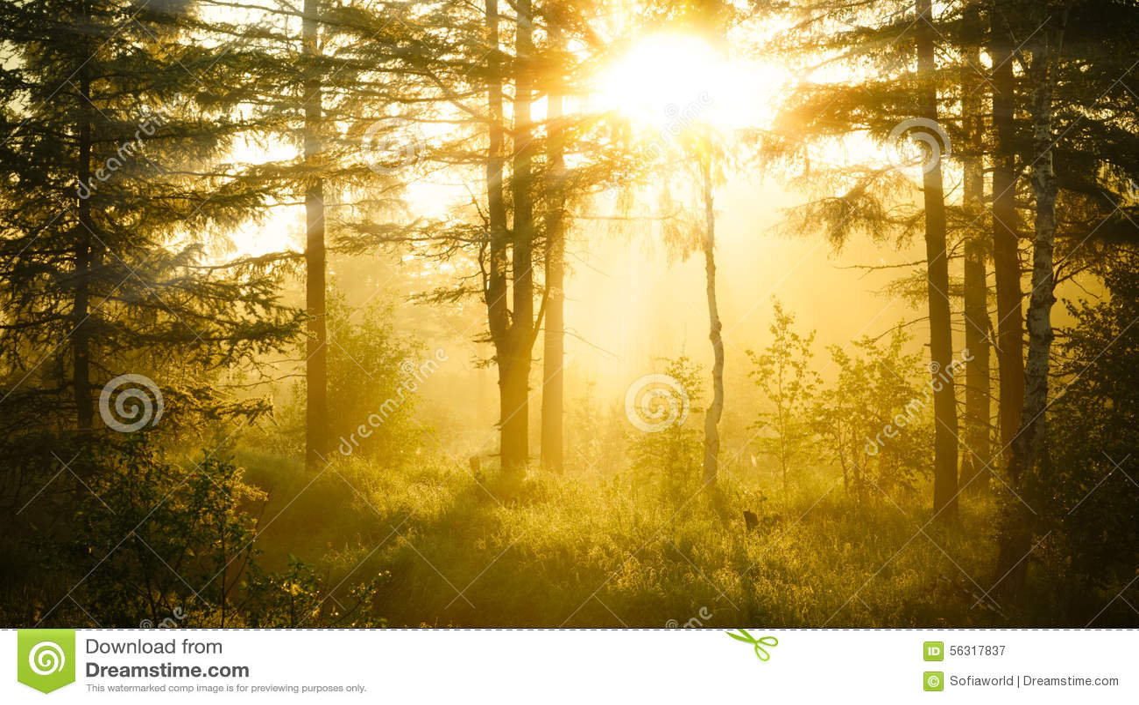 Dimmig soluppgång för skog