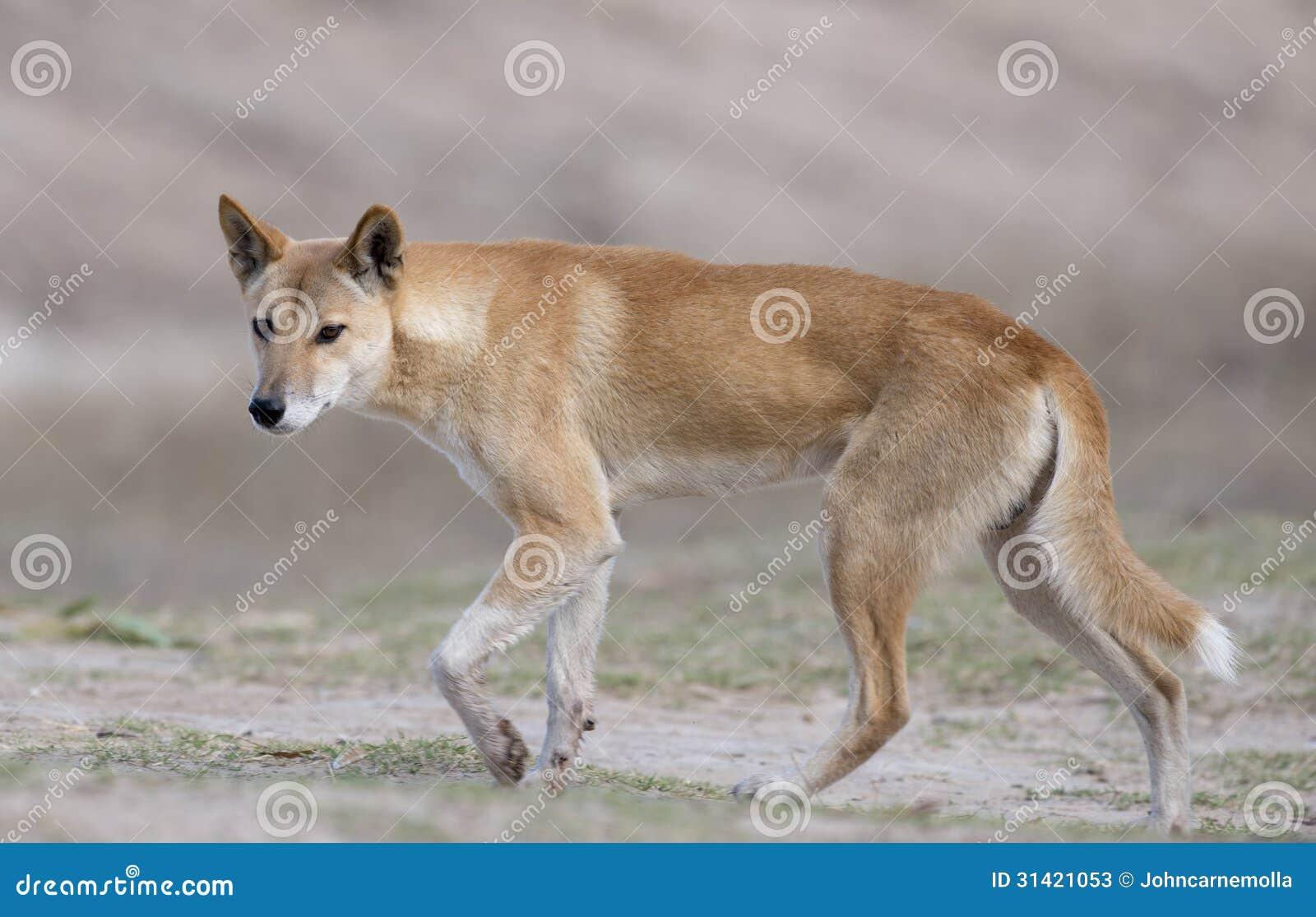 Dingo Stock Photos Image 31421053