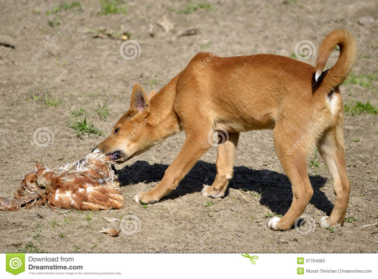 Dingo Eating Poultry Stock Photos - Image: 37704083