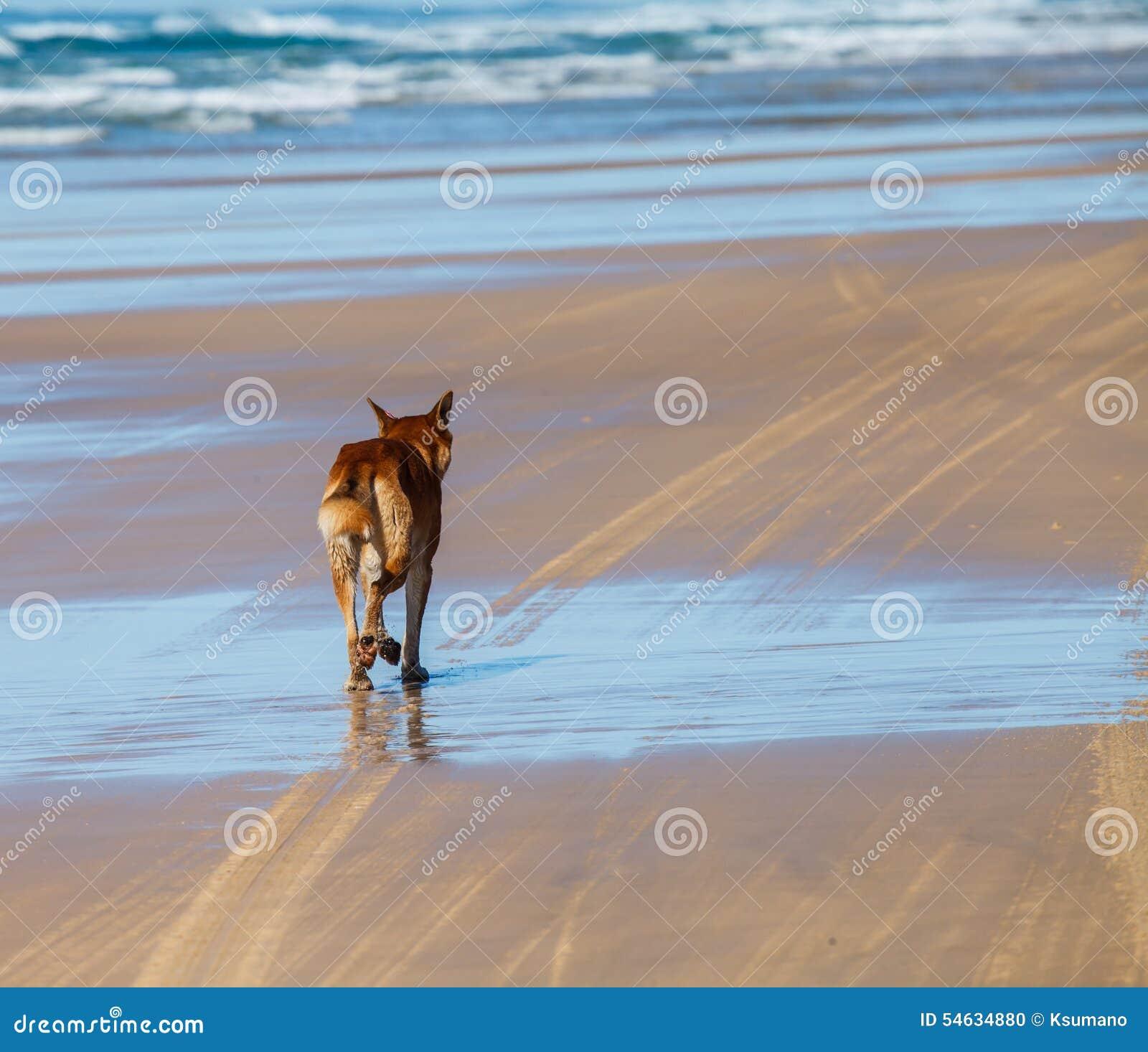 Dingo en la isla de fraser Australia