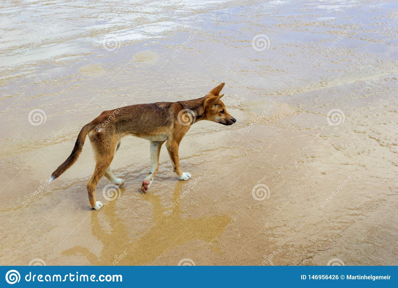 Dingo en la playa en gran Sandy National Park, Fraser Island Waddy Point, QLD, Australia