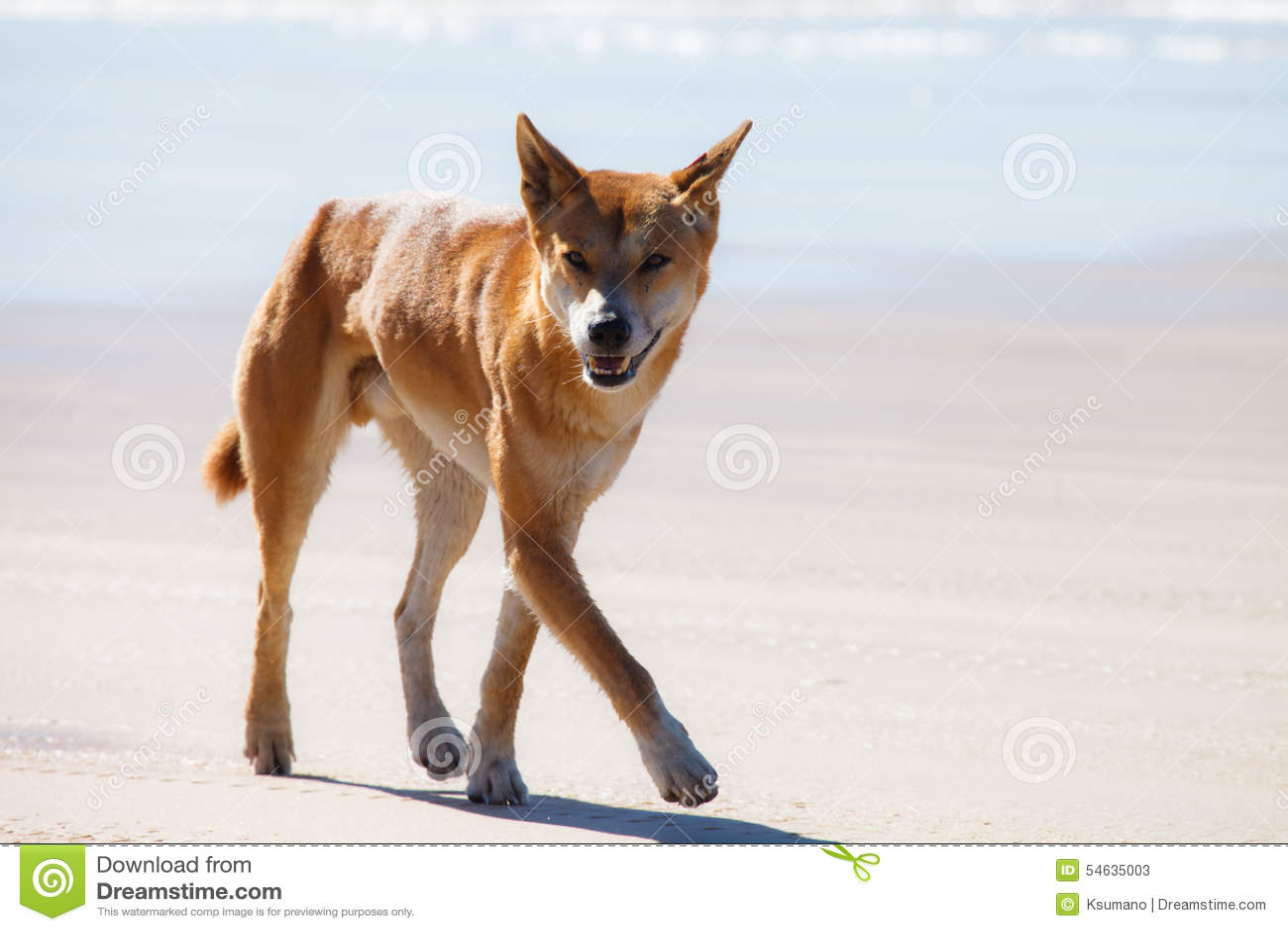 Dingo i fraserön Australien