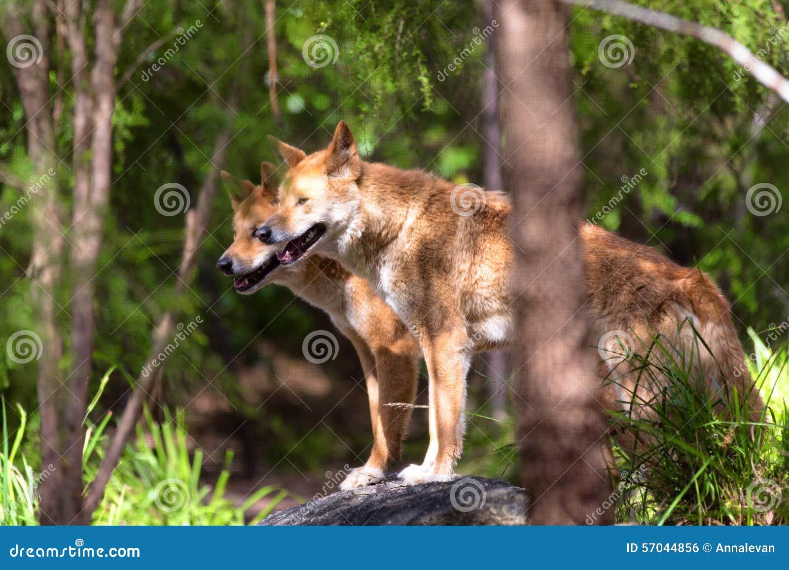 Dingo s in gevangenschap, Australië