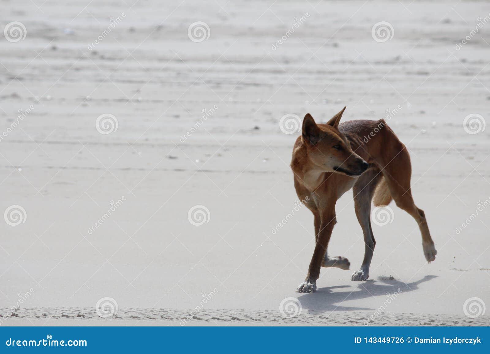 Dingo styl