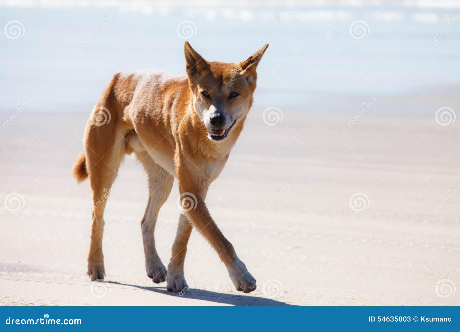 Dingo w fraser wyspie Australia