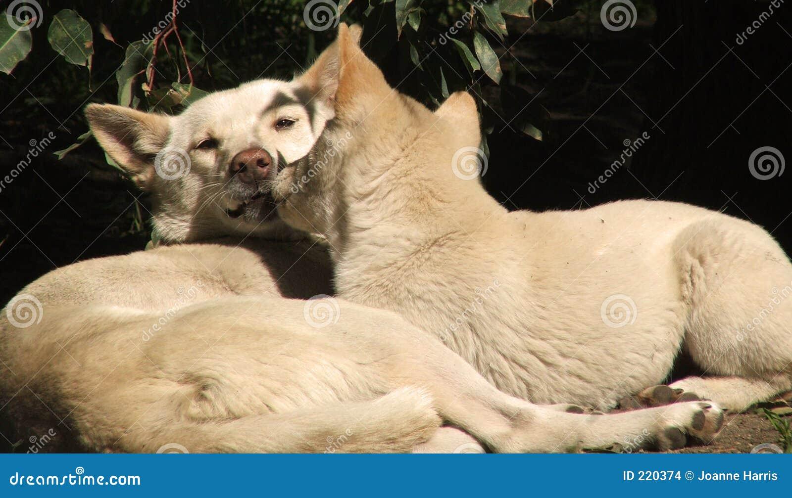 Dingo zwierzęcych
