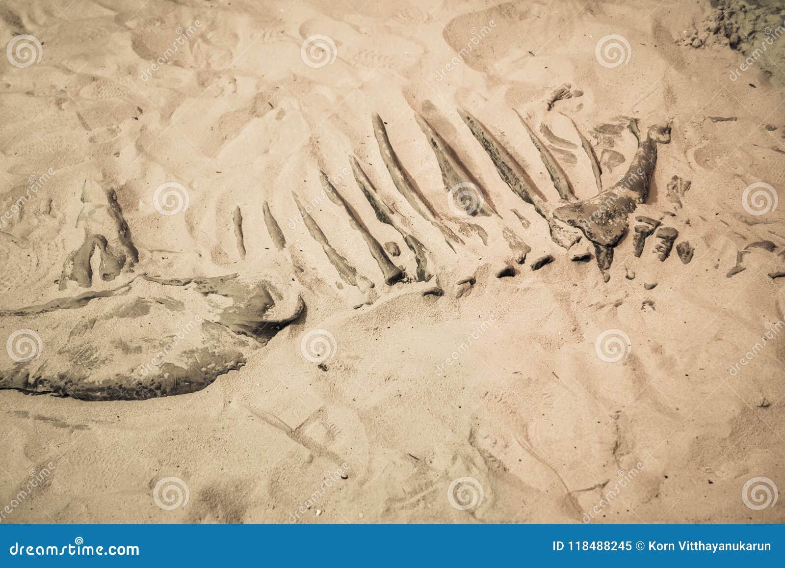 Dinosaur fossil found, Primitive animals bone in sand