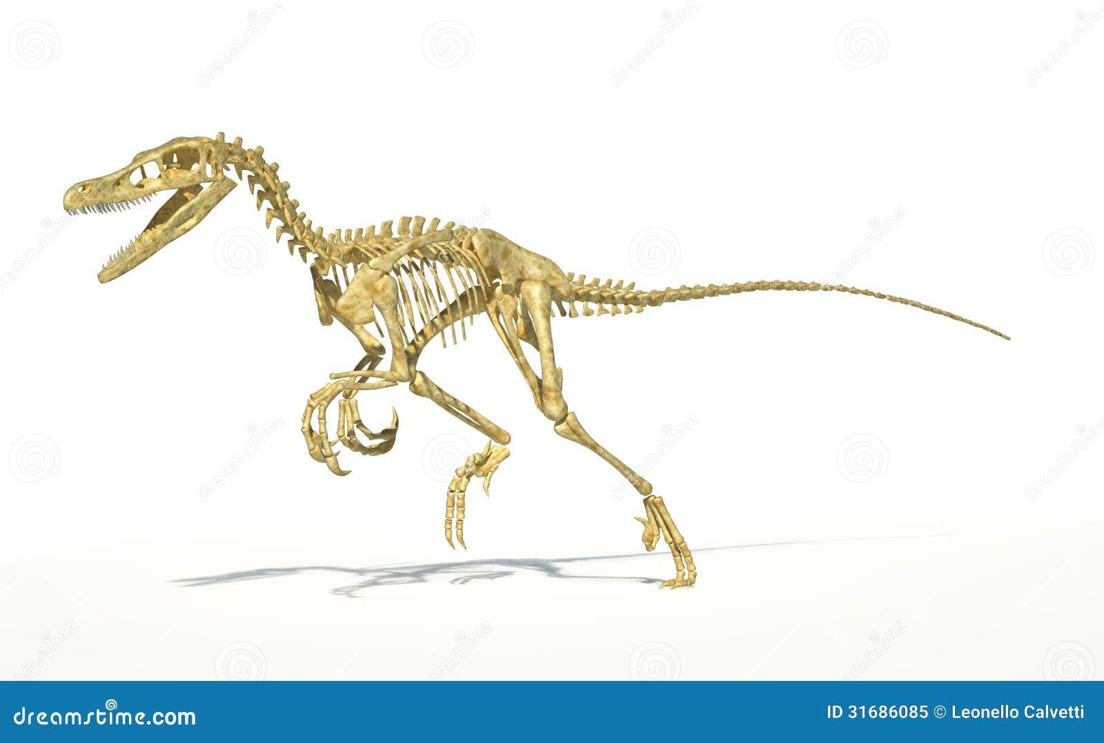 dinosaure de velociraptor plein squelette scientifiquement correct photo libre de droits