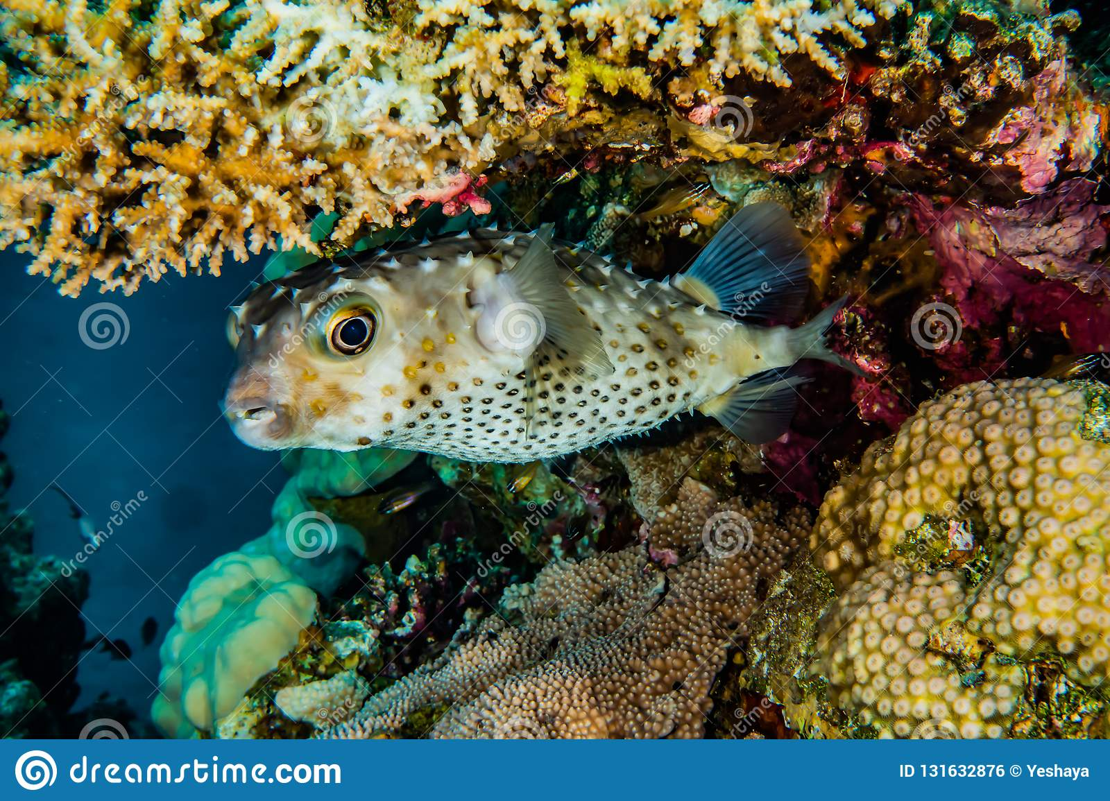 Diodon fish in the Red Sea Colorful and beautiful