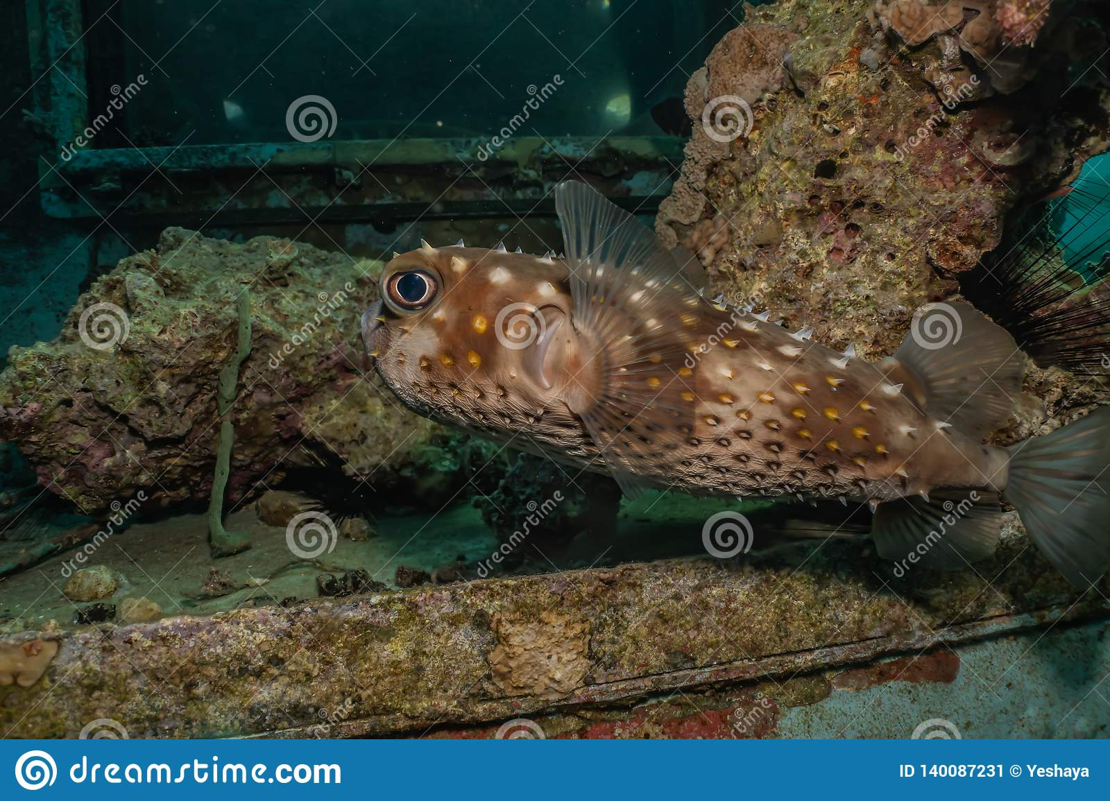 Diodon fish in the Red Sea