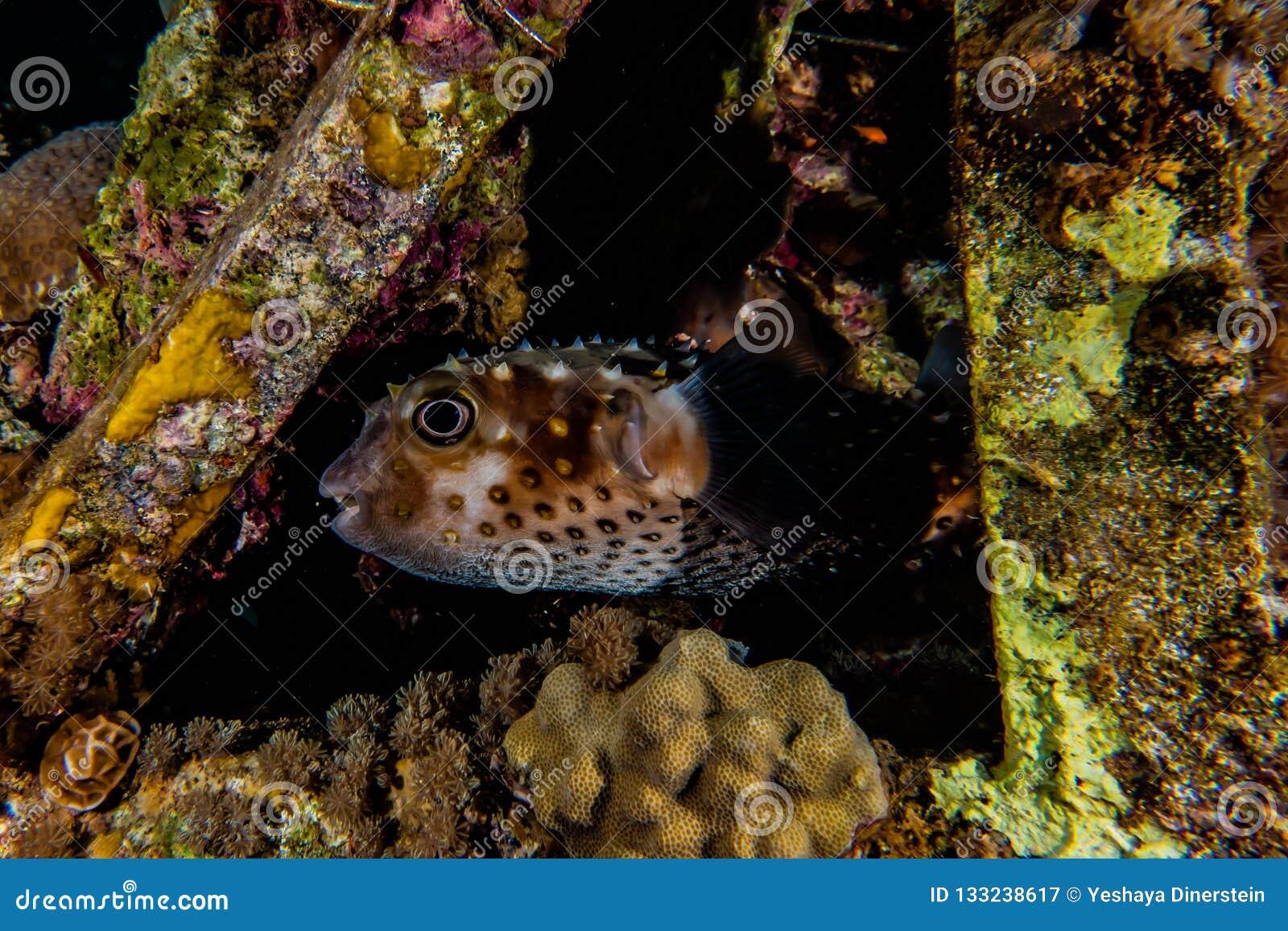 Diodon fish swim in the Red Sea