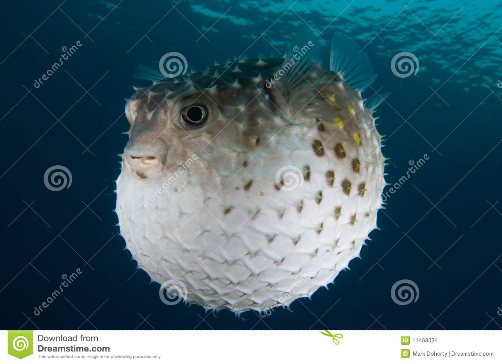 Diodonhystrixporcupinefishen pusta upp