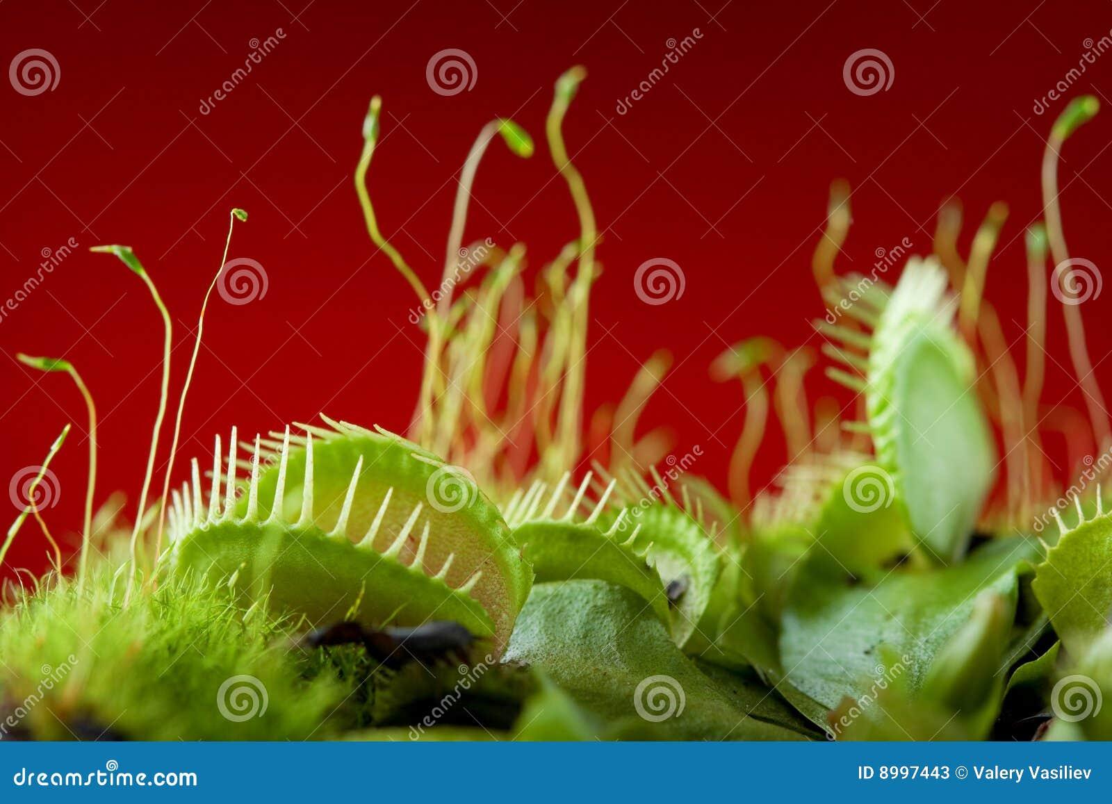 Dionaea捕蝇器金星