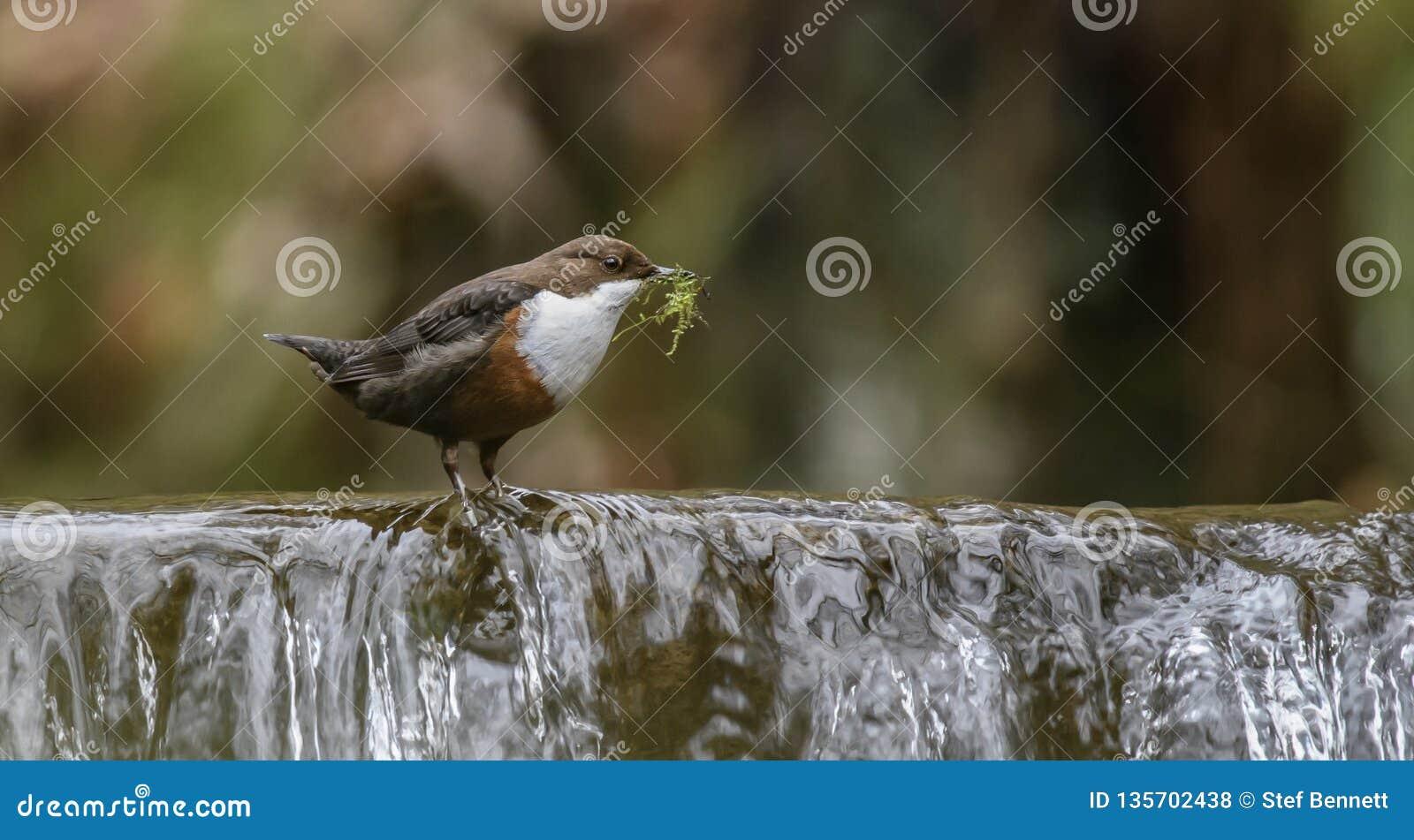 Dipper em uma cachoeira