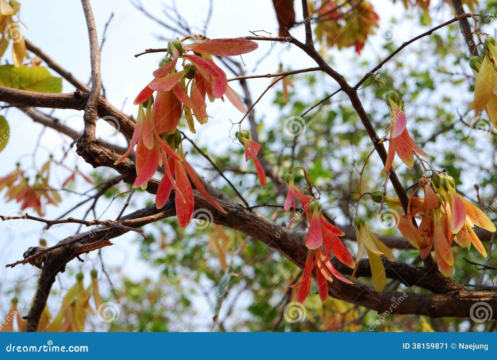 Dipterocarpus