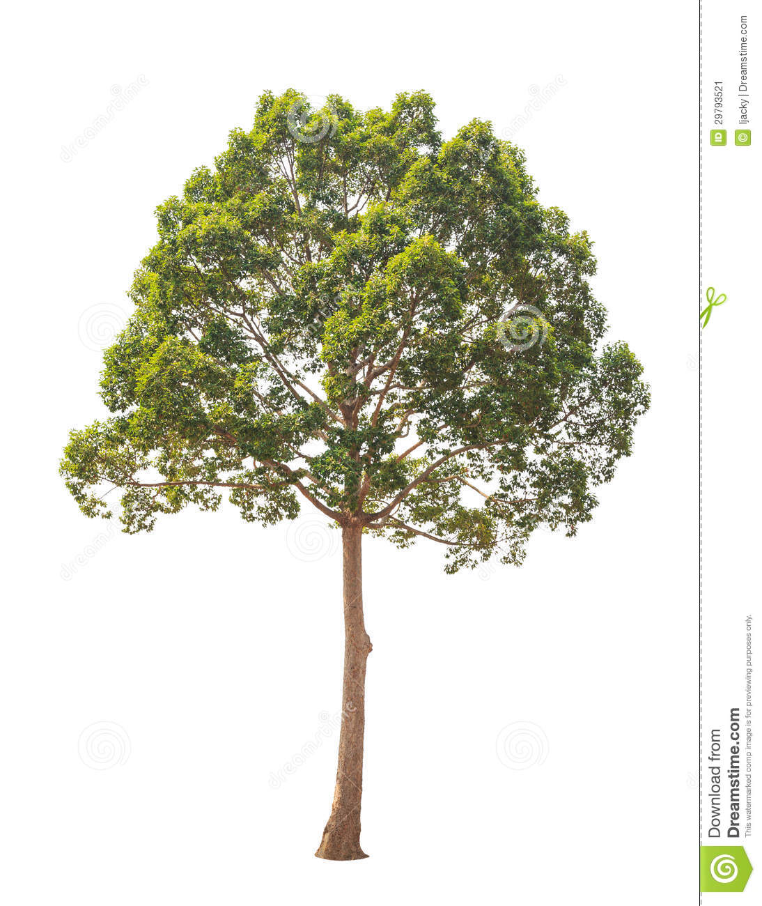 Dipterocarpus Alatus, Tropical Tree Isolated On Wh Stock Image - Image ...