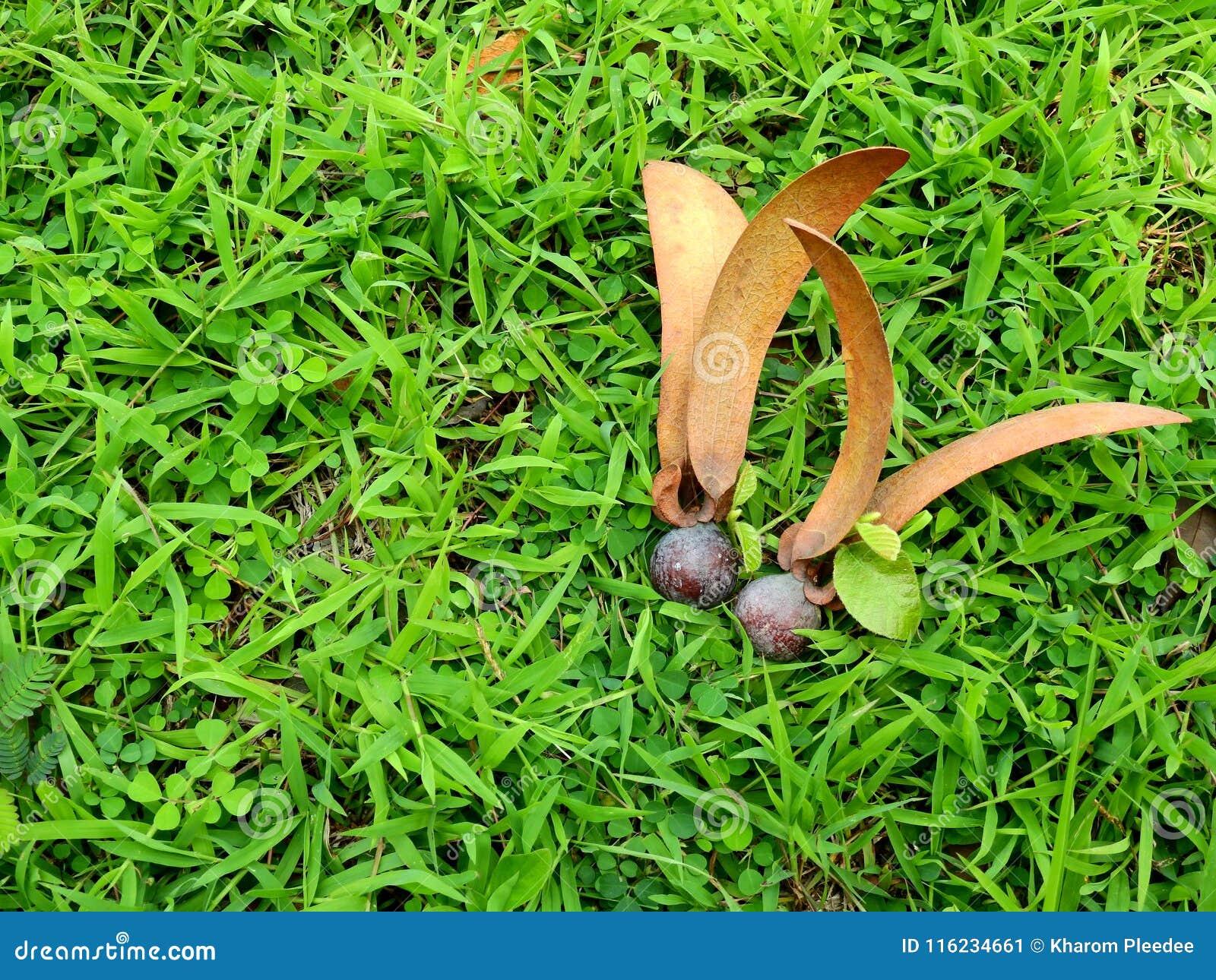 Dipterocarpus alatus ziarno