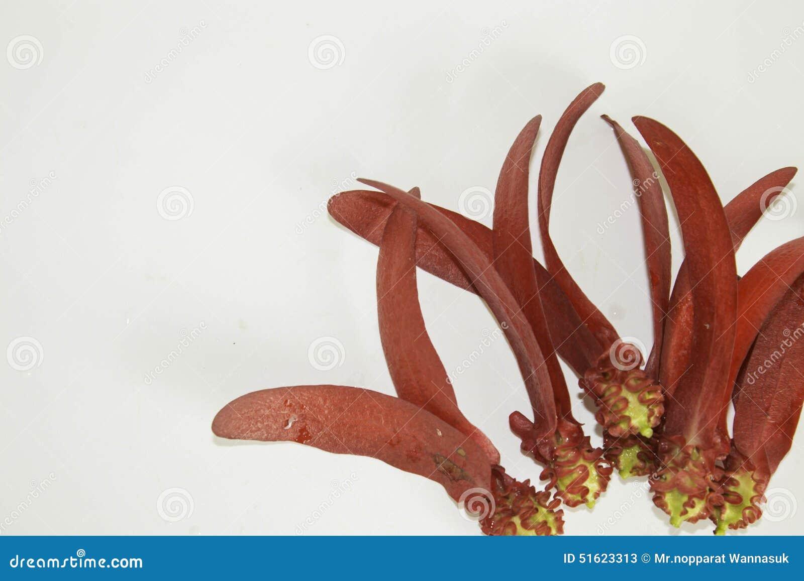 Dipterocarpus-intricatus rote Blumen auf einem weißen Hintergrund