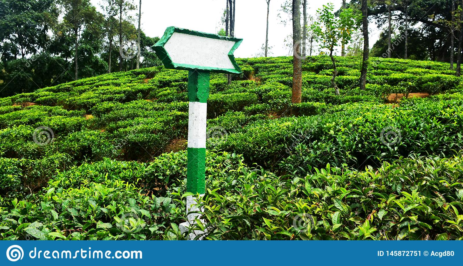 Direction board in tea field. Concrete cement,  green and white rusty direction board in Tea field. in the Nature Green woods stock image