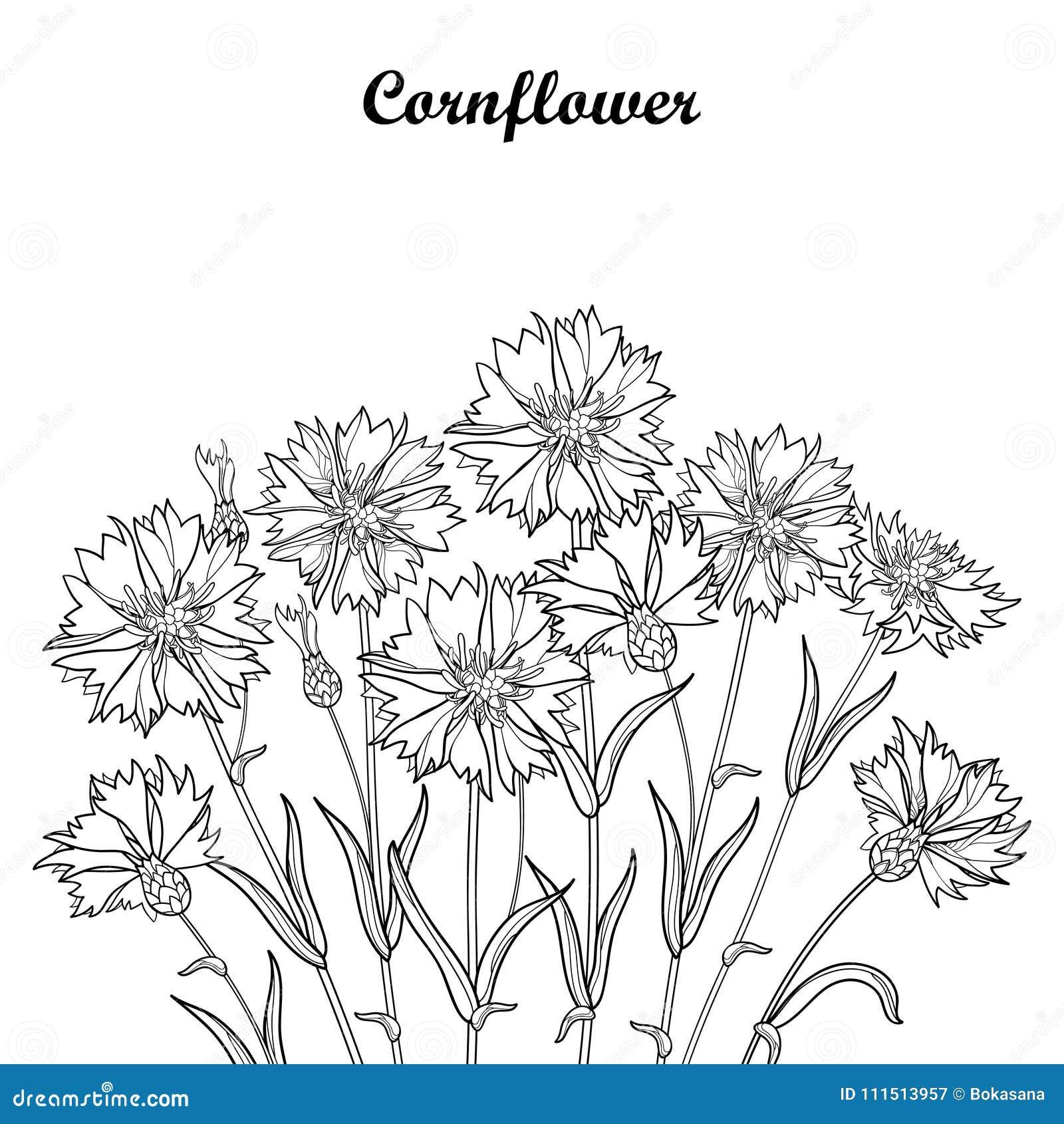 Dirigez le bouquet avec la fleur de bleuet ou de centaur e ou de centaurea d 39 ensemble le - Coloriage fleur bleuet ...