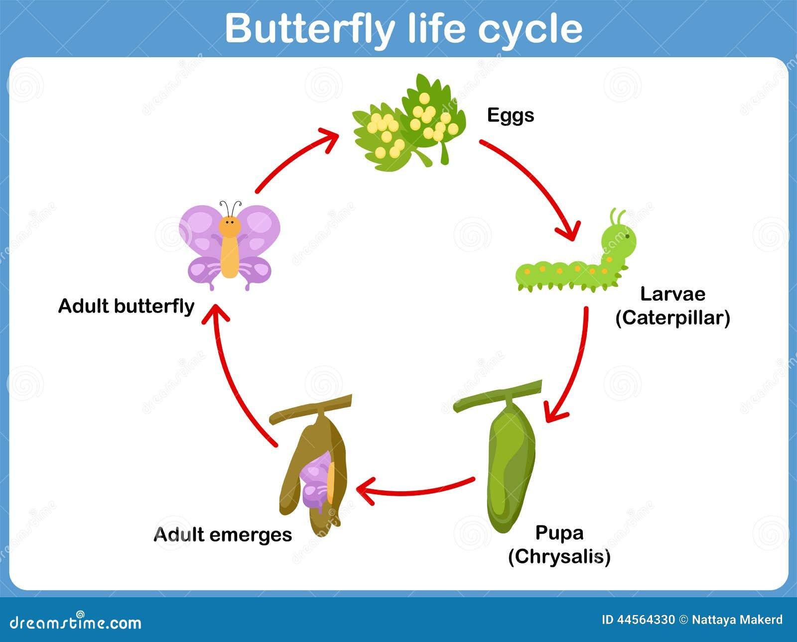 Dirigez le cycle de vie d 39 un papillon pour des enfants illustration de vecteur image 44564330 - Duree de vie papillon de nuit ...