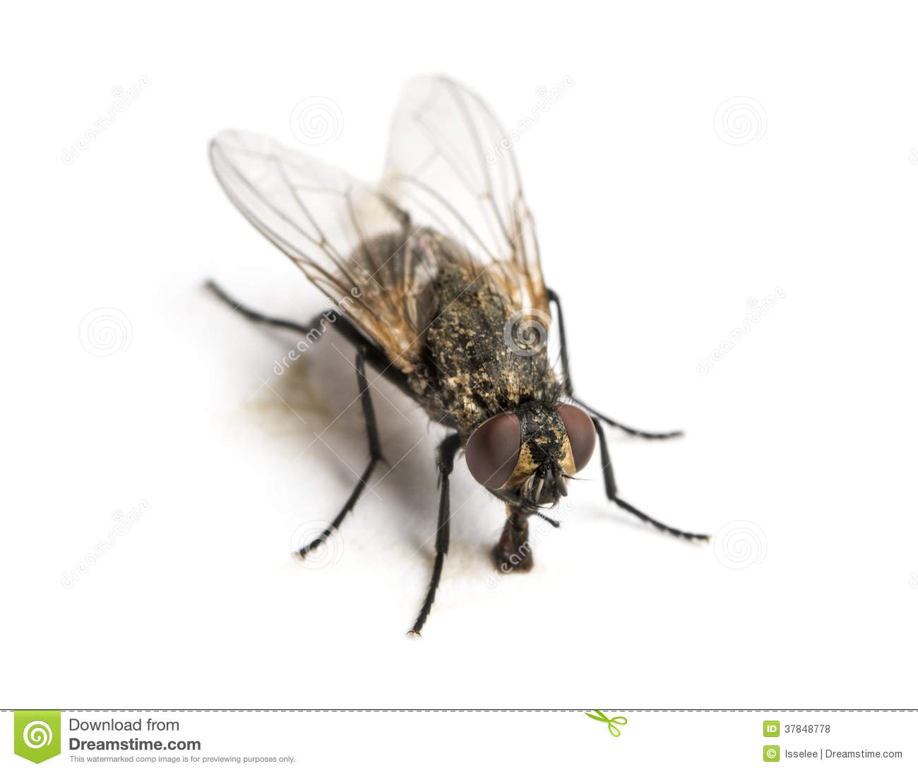 House Fly, Musca domestica