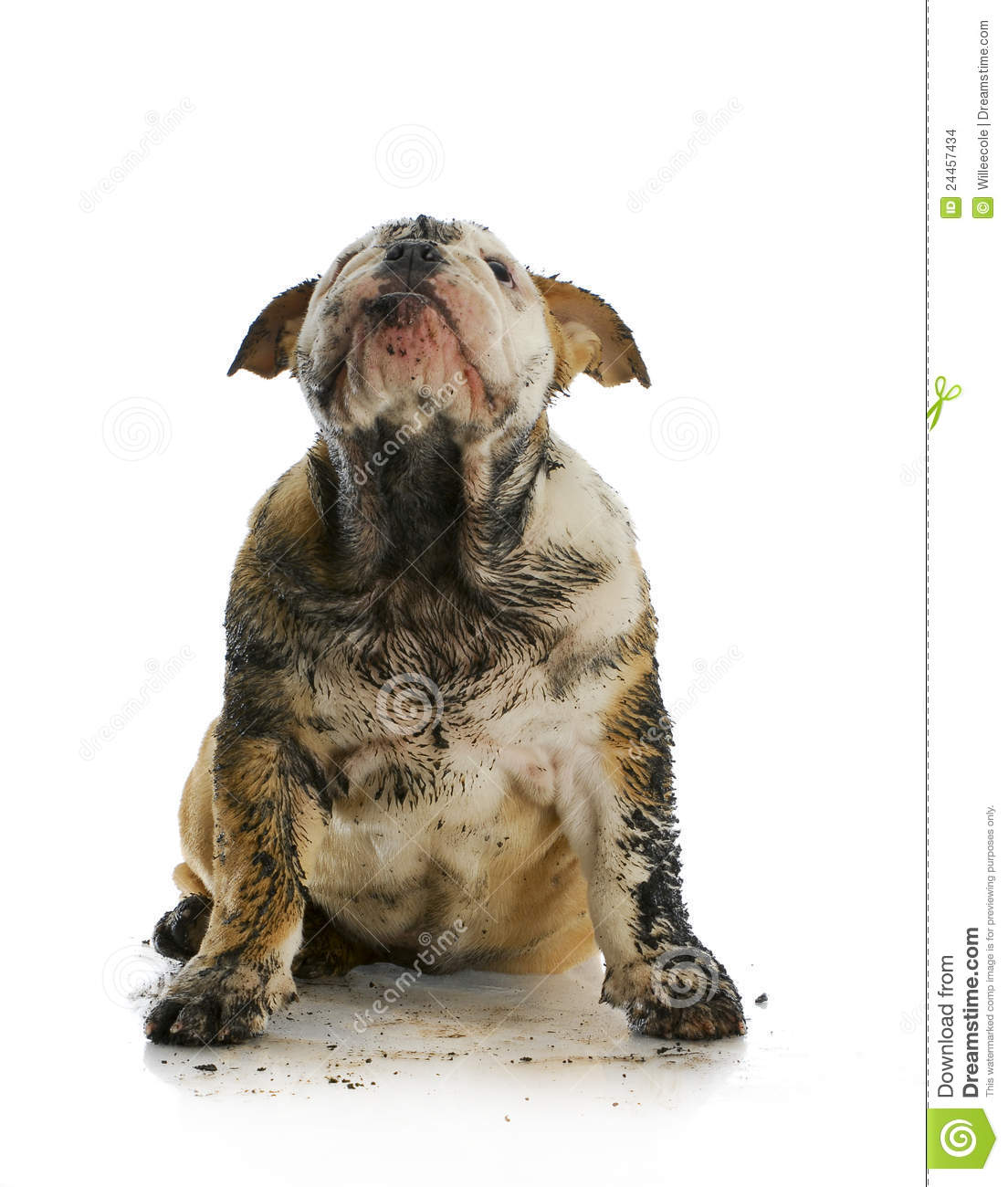 Dirty Dog Looking Up Stock Photo Image Of Cute Panting