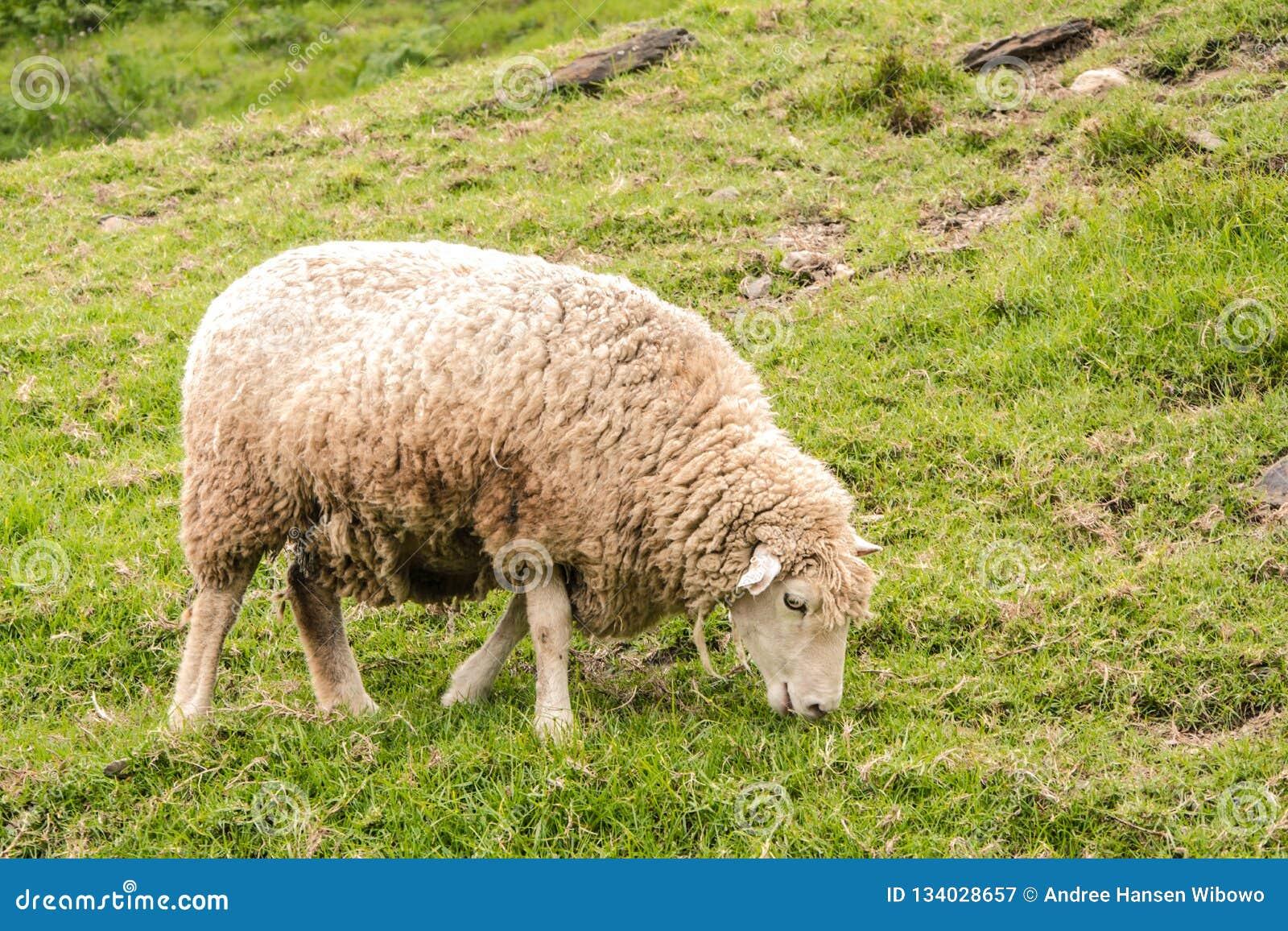 Dirty Sheep Grazing on a Grassy Hillside