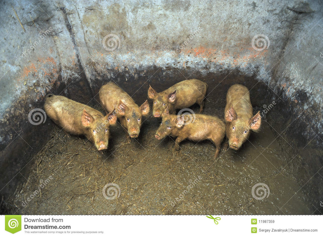 Dirty small pigs