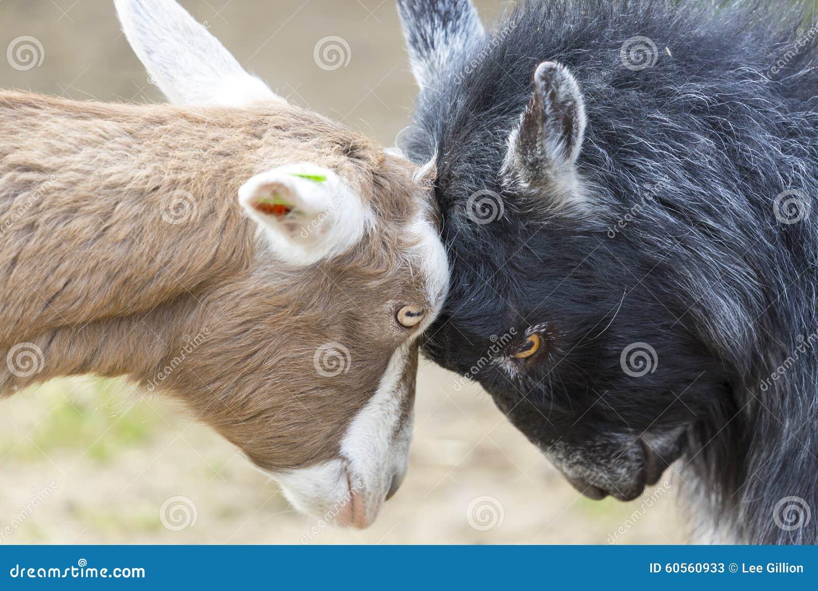 Disagreement Goats Butting Heads