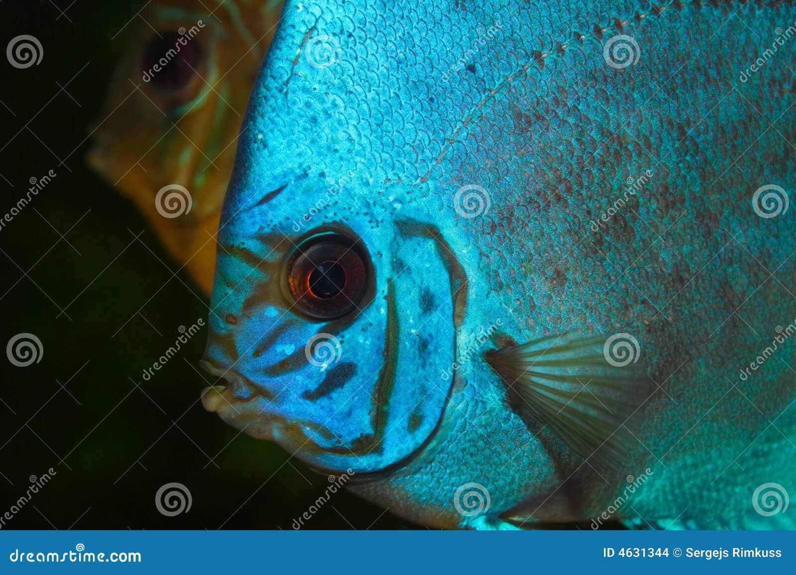 Disco azul no aquário