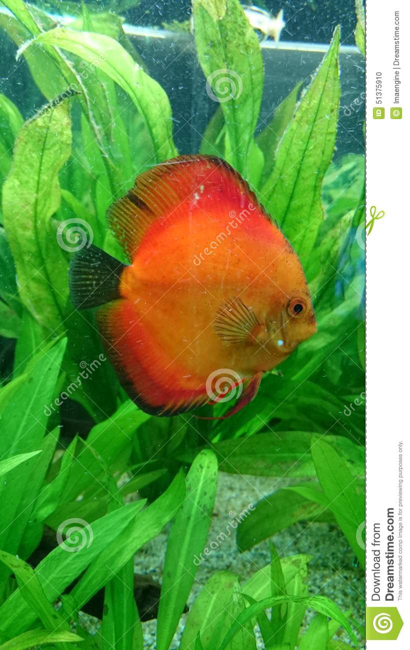 Discus aquarium fish stock photo image of fins amazonian for Sweet water fish