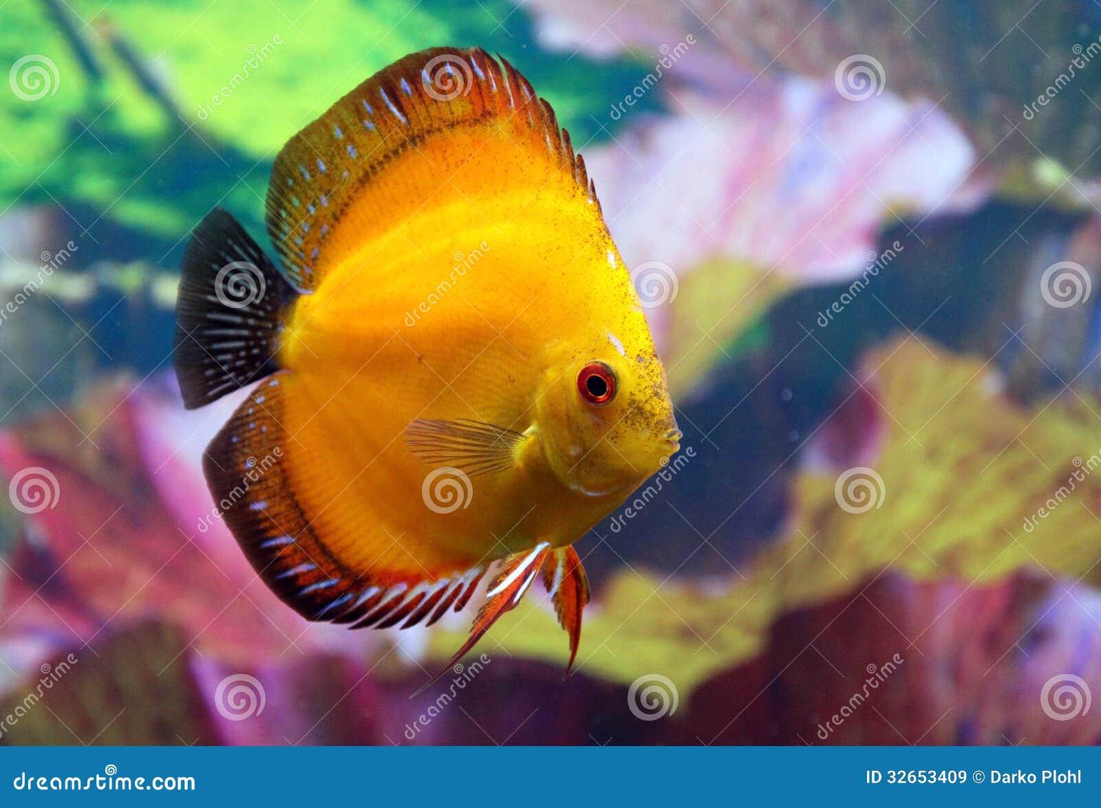 discus aquarium fish stock image image of cichlids aquaristic
