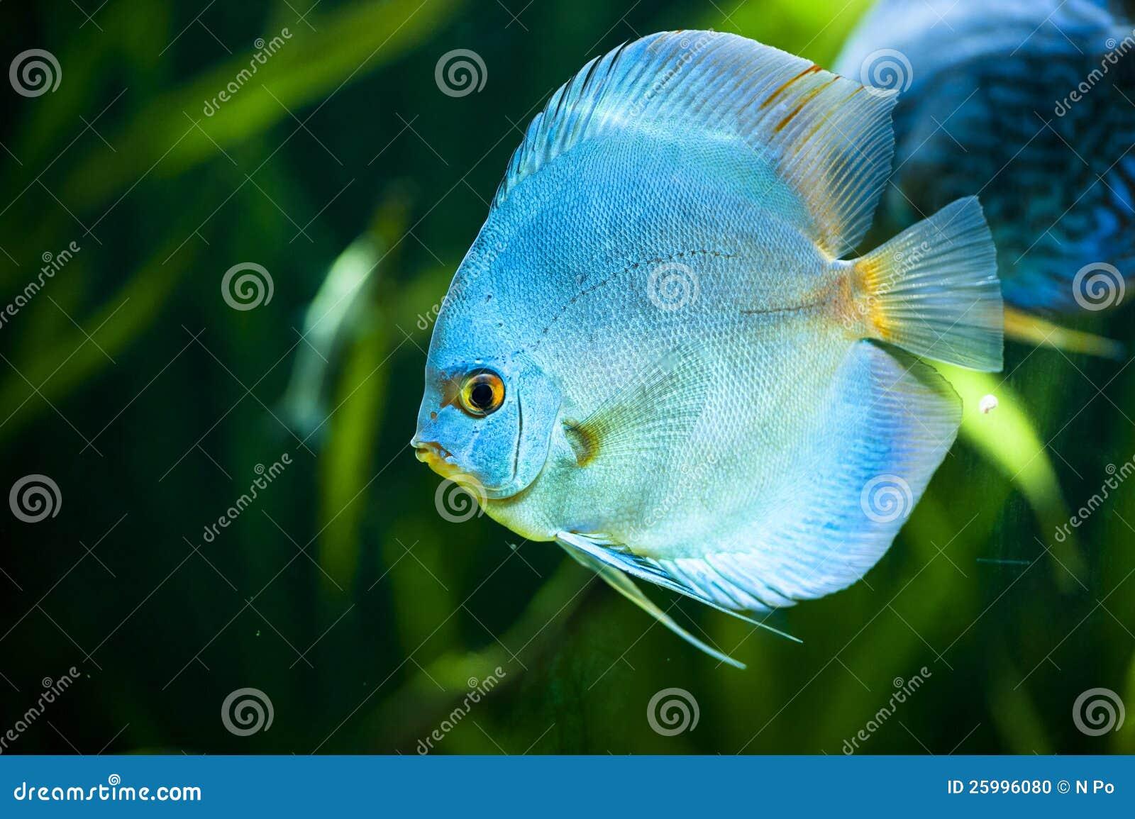 Discus blu del diamante aequifasciatus di symphysodon for Pesce discus