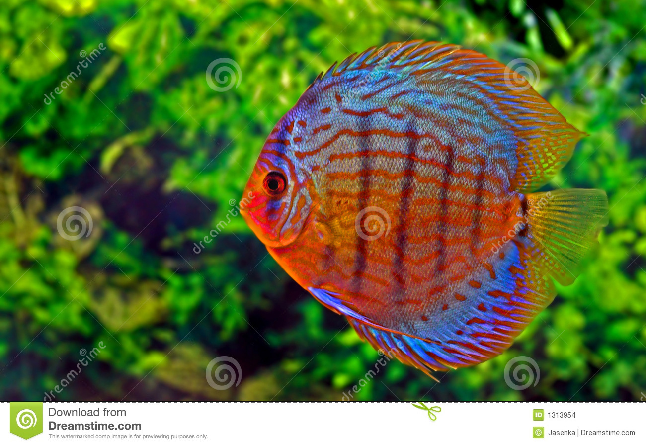 Discus fish stock photo. Image of discus, underwater, colour - 1313954